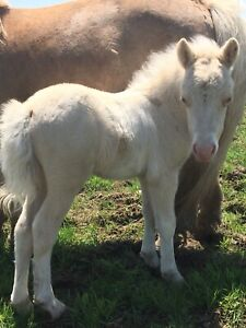 Rare Smoky Cream Pinto Colt