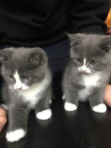 Beautiful Himalayan Ragdoll Kittens looking for a new home!
