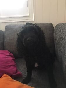 WANTED: POODLE X PUPPIES Clayfield Brisbane North East Preview