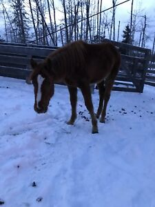 Yearling Filly Quarter Horse