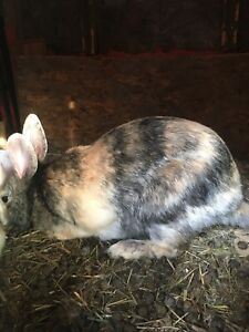 Meat rabbits avail .