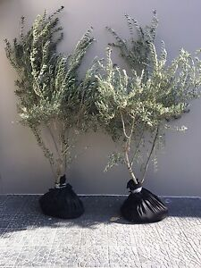 Olive trees- large Bellevue Hill Eastern Suburbs Preview