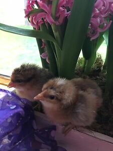 Beautiful Heritage Breed Chicks