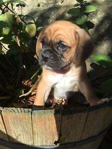 Frenchton/Pugaliers