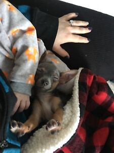 Lovely Blue Chihuahua Puppy
