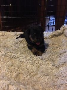 Purebred Rottweiler puppies Glendale Lake Macquarie Area Preview