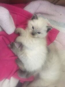 Siamese kittens for sale!