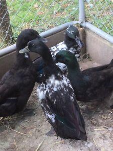 Black Cayuga ducks