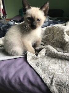 Chatons Siamois Tonkinois blue point PURE