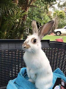 10 week old baby bunnies Forestville Warringah Area Preview