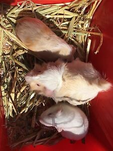 Guinea Pigs- Mother and 1 baby girl. View at Kariong today Tuggerah Wyong Area Preview