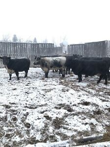 Speckle Park/ Blue Roan Cows