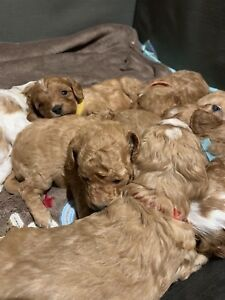 Cavoodle Puppies - 1 X Male available