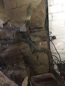 5ft Dimond python Chifley Woden Valley Preview