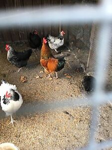Hens laying eggs Greenacre Bankstown Area Preview