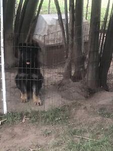 Purebred German Shepherd Puppy