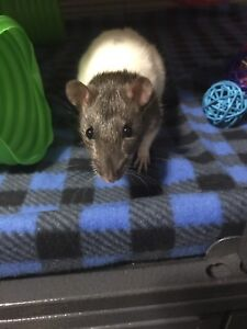 Looking for Male Rats