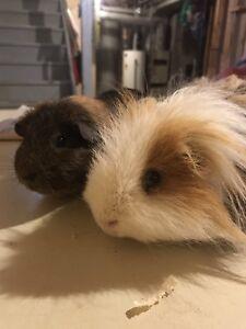 2 Guinea Pigs!