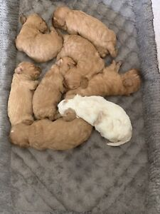One female CAVOODLE puppy