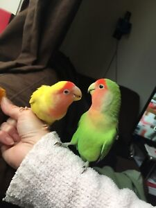 Breading pair of love birds