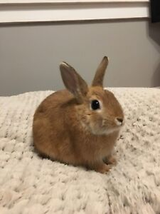 Dwarf Cotton tail Bunny