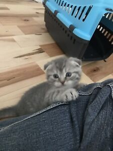 Scottish fold baby !