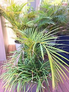 Golden cane palm Mosman Mosman Area Preview