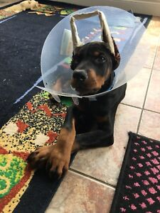 Sweet loving pure bread Doberman in need of a loving home