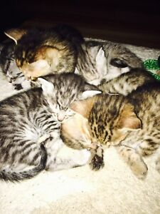 Bengal Kittens 2 boys left!