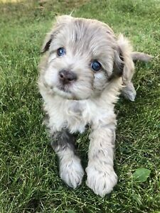 Adopt Dogs & Puppies Locally in Vancouver | Pets | Kijiji