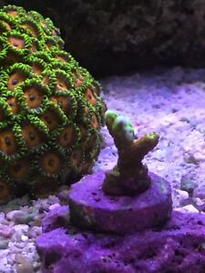 Saltwater Coral Frags *Zoas & SPS* for Sale