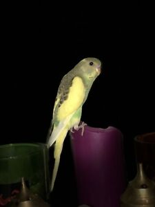 Budgie baby birds for sale -$20 each