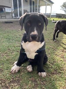 Bull Arab catahoula pup for sale   Dogs & Puppies   Gumtree