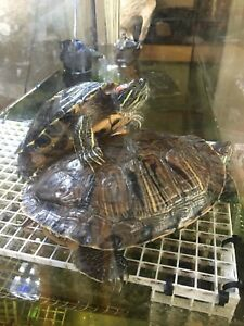 2 red eared slider turtles