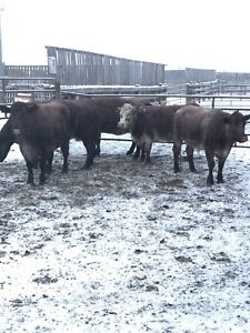 Shorthorn Cows