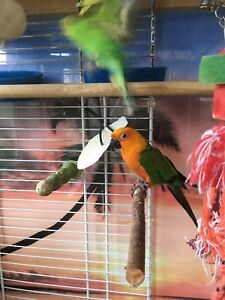 Jenday conure and budgies with cage