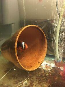 Tomato clown fish for sale