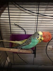 Budgies family with cage and nest to rehome
