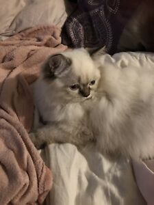 Himalayan kitty