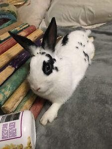 Looking for male breeding rabbit