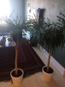 Two indoor tree plants with plant pots
