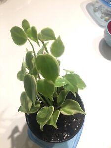 Variegated peperomia nitida plant