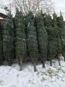 Nova Scotian Christmas Trees 6-8'