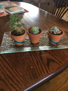 Free 3 tiny succulents in pots