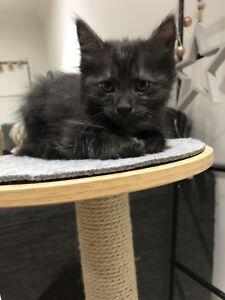 Kittens for sale!!! Rag doll x