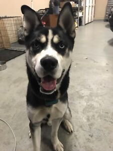 Husky male puppy for sale