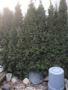 Cedar shrubs