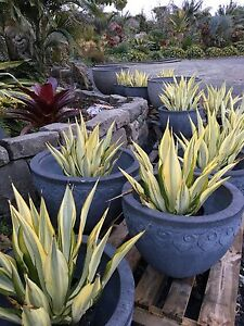 "Furcrea foetida mediopicta ""variegated Mauritius hemp"" 300mm pots Berry Shoalhaven Area Preview"