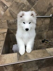 Three months Samoyed puppy for sale!