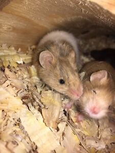Feeder mice for sale *LIVE*
